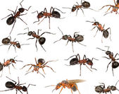 Brown forest ants background — Stock Photo