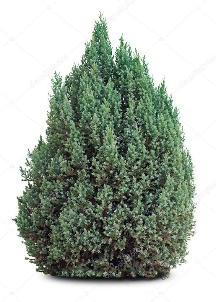 Petit arbre feuilles persistantes sur blanc for Arbres a feuilles persistantes