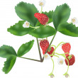 Strawberry flowers and berries isolated on white — Stock Vector