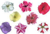 Set of petunia flowers on white background — Stock Vector