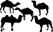 Five camels isolated on white — Stockvektor