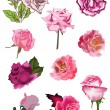 Set of ten isolated pink rose flowers — Stock Vector