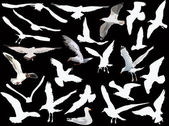 Gulls collection on black background — Stock Vector