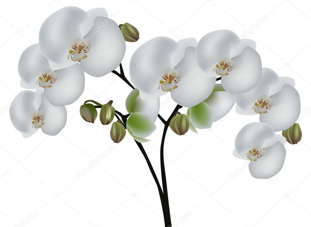 Rama de orquídeas con grandes flores blancas \u2014 Vector de stock 34809887