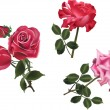 Three pink and red rose flowers isolated on white — Stock Vector