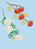 Rowanberry and rowan blossom — Stock Vector