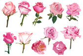 Eleven pink isolated roses — Wektor stockowy