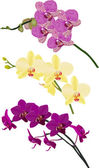 Three color isolated orchid branches — Stock Vector