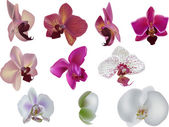 Ten orchids collection isolated on white — Stock Vector