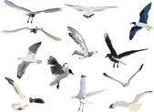Collection of gulls on white background — Stock Vector