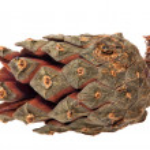 Single pine cone isolated on white — Stock Photo #34863067
