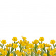 Yellow buttercup flowers field on white — Stock Photo #34868567