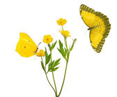 Yellow buttercup flowers and two butterflies — Foto Stock