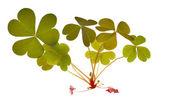 Green trefoil leaves isolated on white — Stock Photo