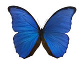 Dark blue morpho butterfly on white — Stock Photo