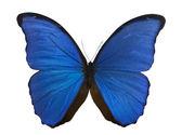 Dark blue morpho butterfly on white — Stock Photo