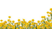 Yellow buttercup flowers field on white — Stock Photo