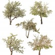 Set of five isolated blooming apple-trees — Photo
