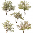 Set of five isolated blooming apple-trees — Stockfoto