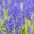 Blue muscari blossom background — 图库照片