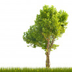 Single London plane tree in green grass — Stock Photo #34875087