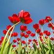 Red tulips growing to blue sky — Stock Photo #34877053