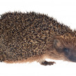 Small hedgehog isolated on white — Stock Photo #34877581