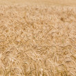 Golden ears of wheat field background — Stock Photo #34877685