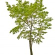 Green maple tree — Stock Photo
