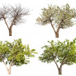 Four seasons apple tree isolated on white — Stock Photo