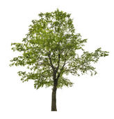 Single green linden tree isolated on white — Stock Photo