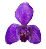 Violet orchid flower with three large petals — Stock Photo