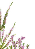 Isolated pink blossoming heather corner — Stock Photo
