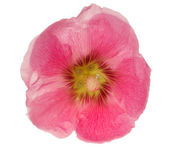 Light pink mallow flower on white — Stock Photo