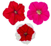 Three petunia flowers isolated on white — Stock Photo