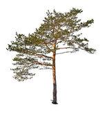 Single green pine isolated on white — Stock Photo