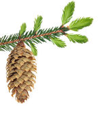 Green fir branch with cone isolated on white — Stock Photo