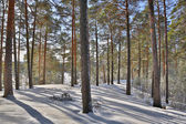 Landscape with snow pines in forest — Foto Stock