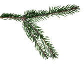 Dark green fir branch isolated on white — Stock Photo