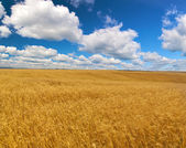 Large wheat field under blue sky and clouds — Stock Photo