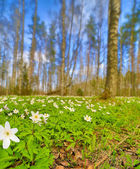 Anemones flowers clearing in spring forest — Stock Photo