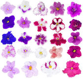 Collection of twenty four isolated violets — Stock Photo