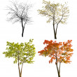 Four seasons maple tree isoalted on white — Stock Photo #34881345