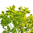 Isolated oak branches with green leaves — Stock Photo