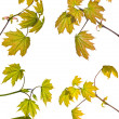 Set of four maple branches isolated on white — Foto Stock #34881981