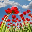 Red tulips growing to sky with clouds — Stock Photo #34887389