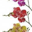 Three color orchid flowers brances isolated on white — Stock Photo