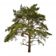 Old large pine isolated on white — Stock Photo #34889637