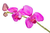 Two pink orchids on branch — Stock fotografie