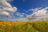 White flowers field under blue sky — Stock Photo